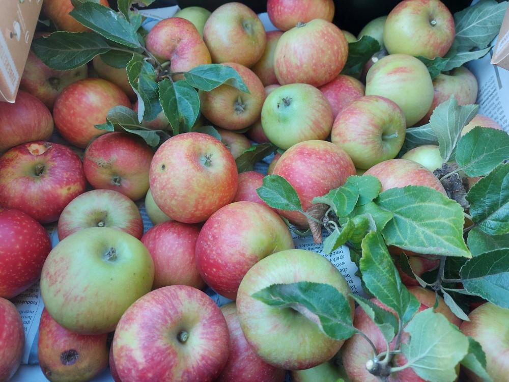 #Bullitt #BLUEMOON #Apfel #Apfelbaum #Apfelernte #Sindorf #Äpfel